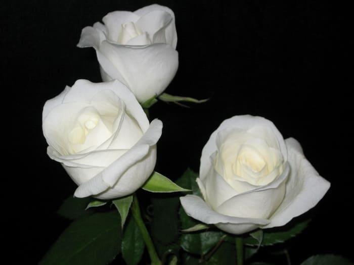 белые розы фото – 03