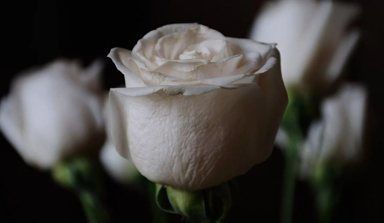 Красивые белые розы фото Букеты белых роз фото