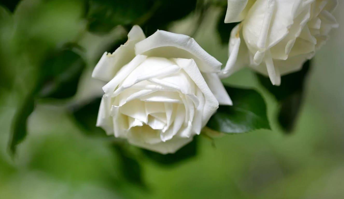 Белоснежные цветы - Lisimnik