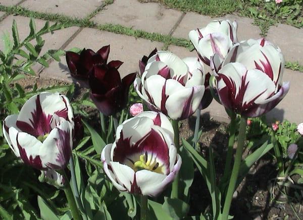 тюльпаны фото – 24