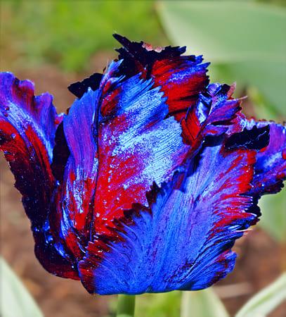 тюльпаны фото – 36