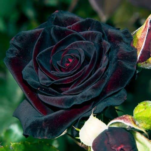розы фото – 19